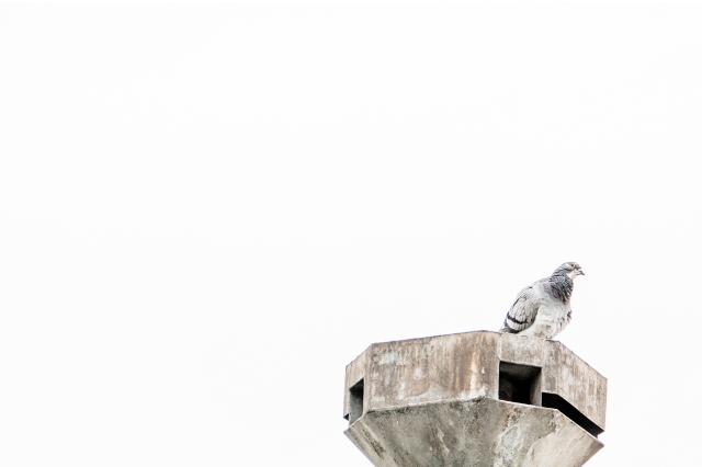 elsbethfotografie grijze duif.